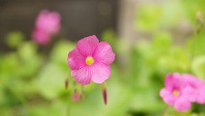 オキザリスの花に癒されて庭の手入れも終了。
