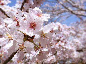 4月の講座は毎年満開の桜が出迎えてくれます!